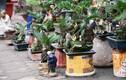Vạn tuế bonsai chơi Tết cổ truyền giá cả chục triệu đồng/chậu
