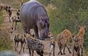 Video: Chó hoang hỗn chiến cùng linh cẩu và hà mã