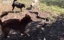 """Video: 4 chú chó """"đánh nhau"""" với rắn hổ mang cứu chủ"""