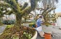 Mai trắng phủ rêu mốc đầy thân, giá chục triệu đồng/gốc