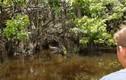 Du khách tham quan đầm lầy phát hiện hành động hiếm ở cá sấu
