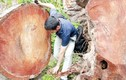 Cây xanh Hà Nội bị chặt, gỗ được mang đi đâu?