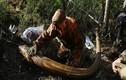 Theo chân những kẻ đào trộm ngà voi ma mút ở Nga