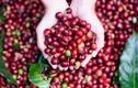 Giá cà phê hôm nay 11/1: Đồng loạt giảm 200 đồng/kg