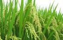 Hàng độc 2016: Lúa đồng lên chậu cảnh chơi Tết