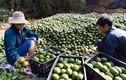 Bí mật phát tài của người trồng cam sành ở Tuyên Quang