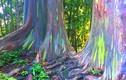"""Kỳ lạ loại cây có biệt tài """"biến hình"""" thành 7 sắc cầu vồng"""