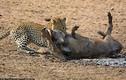 Lợn rừng chết thảm dưới móng vuốt báo săn vì... ngủ quên
