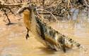 Khoảnh khắc rắn lớn cực độc bỏ mạng dưới hàm răng cá sấu non