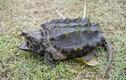 Bắt được sinh vật kỳ dị như thời nguyên thuỷ nghi là rùa cá sấu