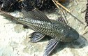 """Xác khô loài cá bất tử ở Việt Nam hồi sinh khi được """"tưới nước"""""""