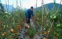 Hàng chục nghìn tấn cà chua bỏ thối ngoài đồng Đơn Dương
