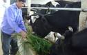 Hiểu đúng về thực trạng chăn nuôi bò sữa ở Việt Nam