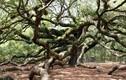 Ngắm cây sồi 450 tuổi đẹp như bức tranh thủy mặc