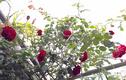 Chỉ 5m2 ban công, mẹ 8X tự tay trồng vườn hồng đẹp như mơ