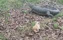 Chú chó nhỏ đuổi cá sấu 3,3 mét chạy bán sống bán chết
