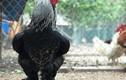 Dân chơi săn lùng hàng hiếm gà khổng lồ giá 35 triệu đồng/cặp
