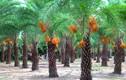 Phát sốt với vườn chà là ra từng chùm quả vàng ngọt ngon ở Sa Đéc