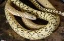 Làm giàu nhờ rắn độc