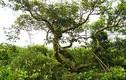 Khám phá khu rừng trâm bầu cổ 500 năm ở Quảng Bình