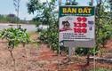 Ảnh: Biển rao bán đất trên cây dọc đường vành đai Buôn Ma Thuột