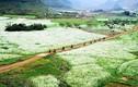 Mộc Châu bừng sáng tinh khôi với cánh đồng cải trắng tuyệt đẹp