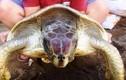 """Thả  rùa biển quý hiếm từng """"đi lạc"""" vào nhà xưởng"""