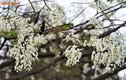 Giới trẻ Hà Nội tới đâu để ngắm hoa sưa nở trắng trời?