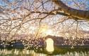 Trung Quốc: Mùa hoa anh đào đẹp ngỡ như tiên cảnh