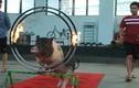 Video: Xem lợn trổ tài nhảy qua vòng lửa, sút bóng vào lưới