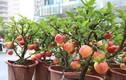 Siêu phẩm chỉ có ở chợ ngày Tết: Táo bonsai trên cây dâm bụt