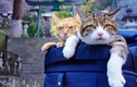 """2 boss mèo được """"sen"""" vác đi khắp Nhật Bản khiến dân mạng phát hờn"""