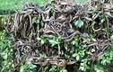 """Kinh dị """"hòn đảo nọc độc"""" bị hơn 400.000 con rắn xâm chiếm"""