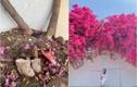 Giàn hoa giấy Vũng Tàu bị kẻ gian cưa trộm, netizen bức xúc
