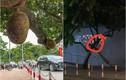 """Netizen báo tin buồn về """"quả mít an toàn nhất Việt Nam"""""""