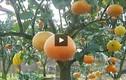 Vườn cây với 9 loại quả khác nhau độc nhất Hà Nội