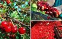 Thu hoạch cả cây cherry chỉ trong một cái rung lắc