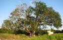 Những chuyện kỳ bí về cây xoài 300 tuổi ở Bạc Liêu