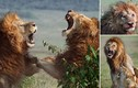Khốc liệt cảnh sư tử đực đánh nhau chí tử giành bạn tình