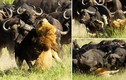 Khiếp đảm cảnh sư tử bị đàn trâu giẫm đạp đến chết