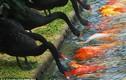 Thiên nga đứng xếp hàng mớm mồi nuôi... cá chép