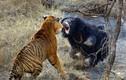 Bầy hổ hạ gục gấu trong nháy mắt