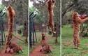 Hổ bật cao hơn 3m lấy thức ăn trên không
