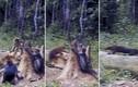 Hình ảnh hiếm về mèo rừng sống ẩn dật nhất Trái đất