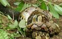 """Ảnh động vật tuần: Hổ mang chúa cắn chết trăn, hươu """"khoe dáng""""..."""