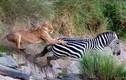 Ảnh động vật: Trăn khổng lồ cuộn tròn, sư tử phi thân vồ ngựa vằn...
