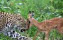 Ảnh động vật: Báo đốm vờn mồi, ngựa vằn quyết chiến...