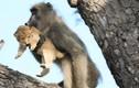 Ảnh động vật: Khỉ đầu chó bắt cóc sử tử con