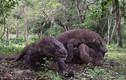 Ảnh động vật: Cuộc quyết chiến ác liệt giữa 4 con rồng komodo