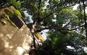 Ngỡ ngàng nhà có cây đâm xuyên cực độc ở Hà Nội